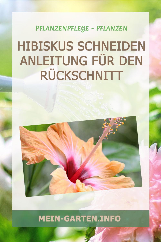 Hibiskus schneiden – Anleitung für den Rückschnitt