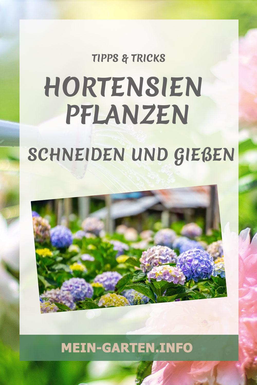 Hortensien - pflanzen, schneiden und gießen