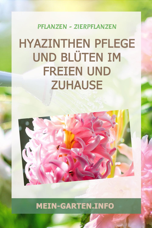 Hyazinthen Pflege und Blüten im Freien und Zuhause