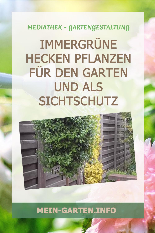 Immergrüne Hecken Pflanzen für den Garten und als Sichtschutz