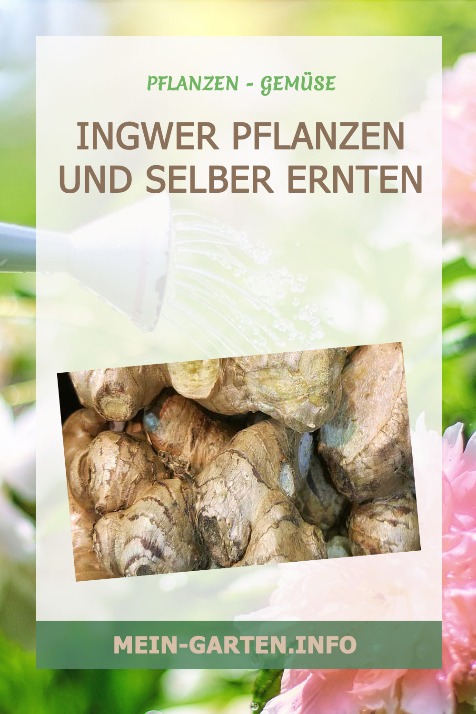 Ingwer pflanzen und selber ernten