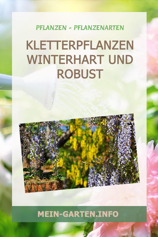 Kletterpflanzen winterhart und robust
