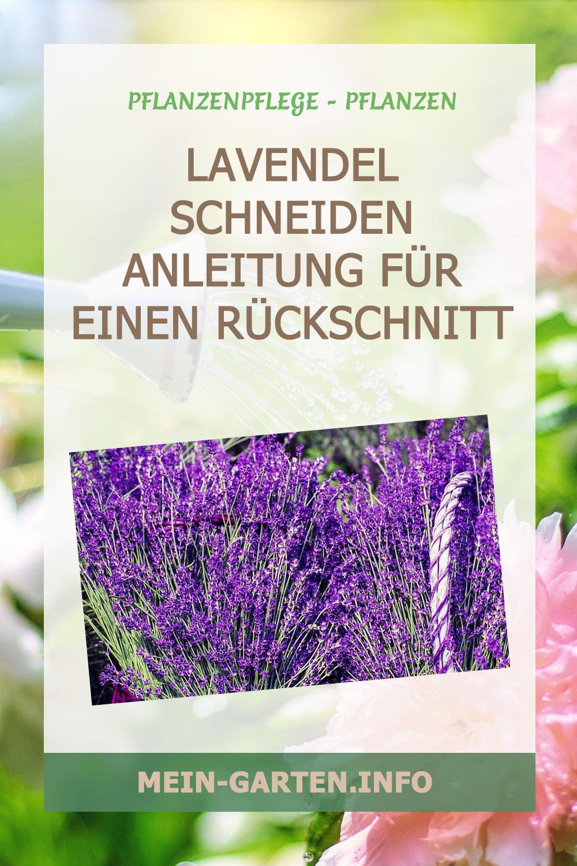 Lavendel schneiden – Anleitung für einen Rückschnitt