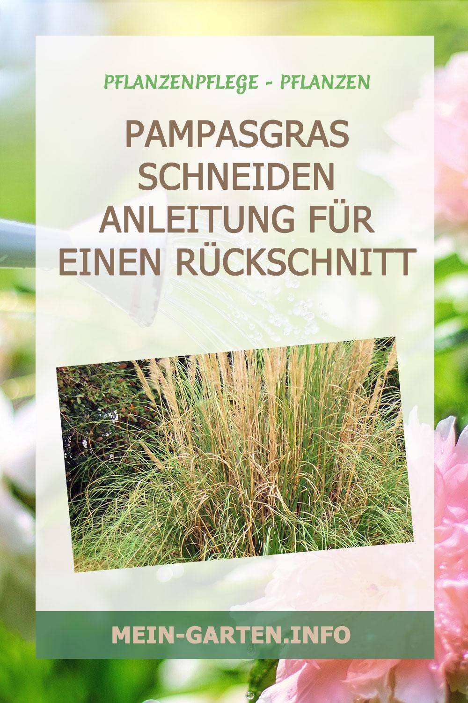 Pampasgras schneiden – Anleitung für einen Rückschnitt