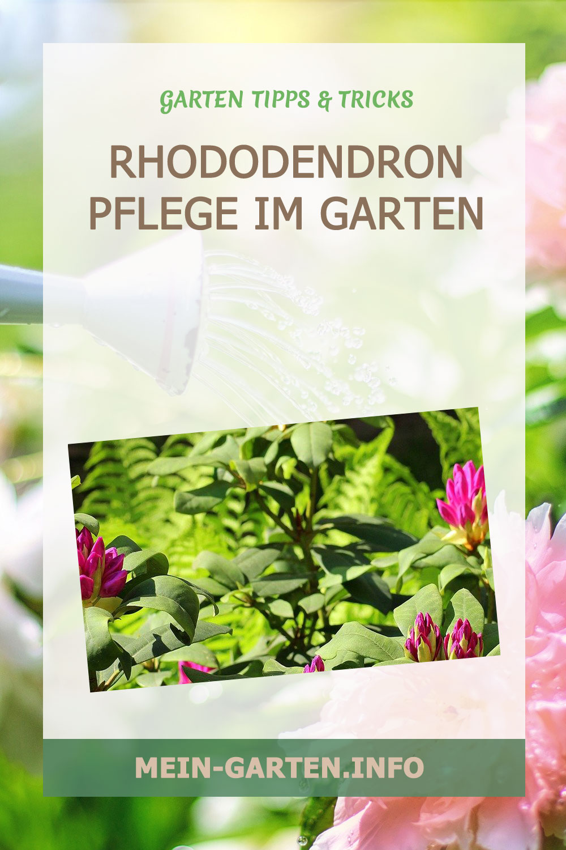 Rhododendron Pflege im Garten
