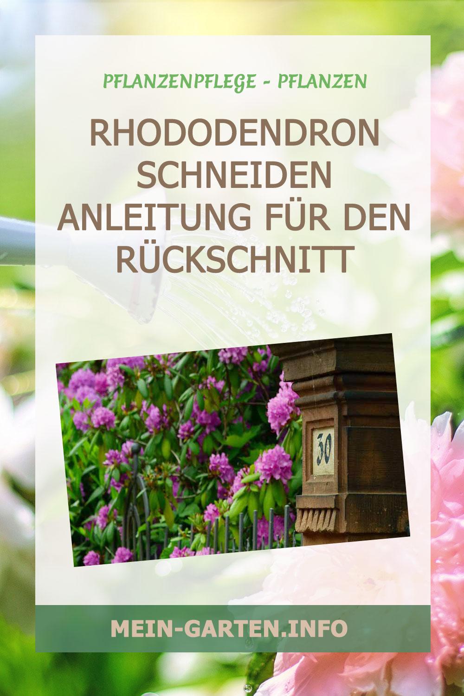 Rhododendron schneiden – Anleitung für den Rückschnitt