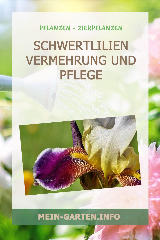 Schwertlilien Vermehrung und Pflege