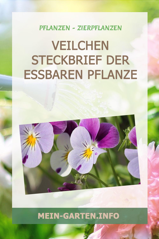 Veilchen Steckbrief der essbaren Pflanze