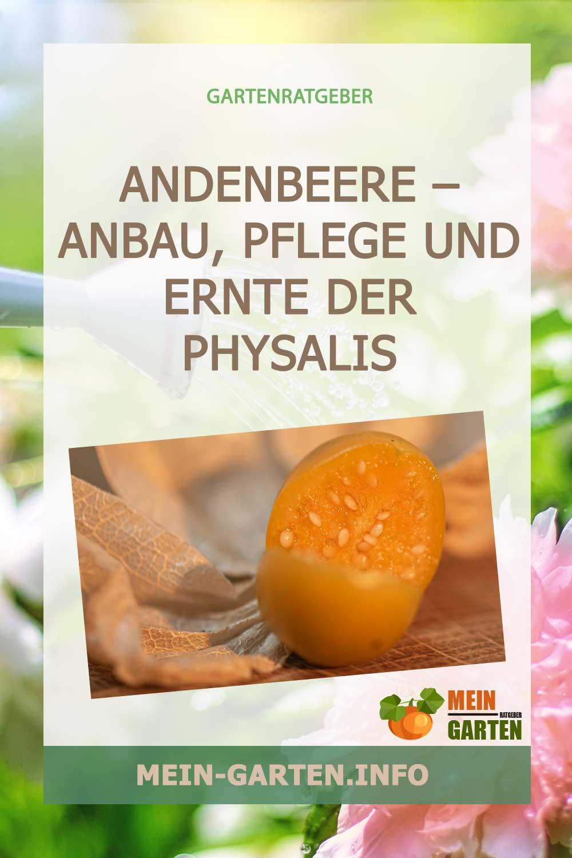 Andenbeere – Anbau, Pflege und Ernte der Physalis
