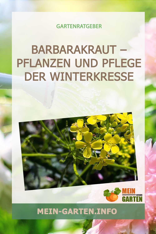 Barbarakraut – Pflanzen und Pflege der Winterkresse
