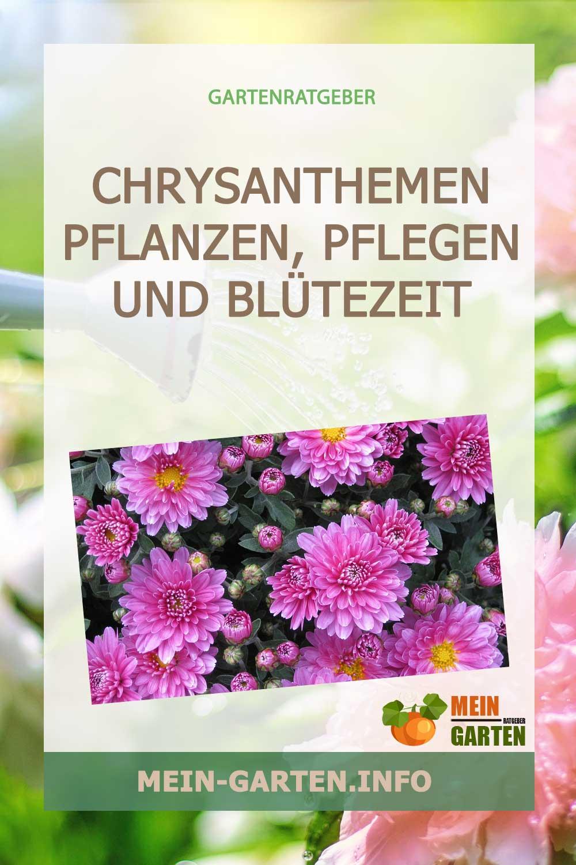 Chrysanthemen pflanzen, pflegen und Blütezeit der Korbblütler