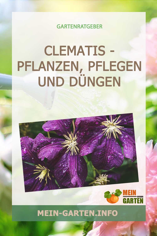 Clematis – pflanzen, pflegen und düngen der Kletterpflanze