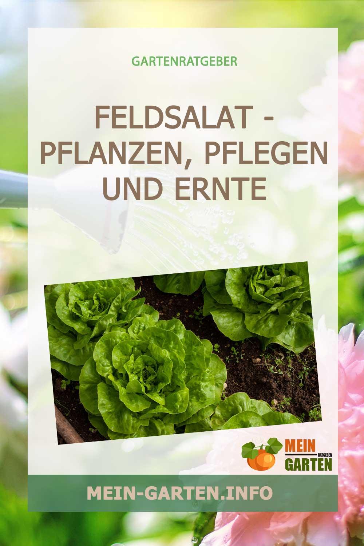 Feldsalat – pflanzen, pflegen und Ernte Saison