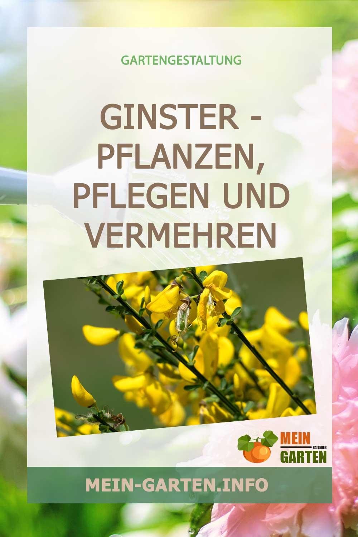 Ginster – pflanzen, pflegen und vermehren