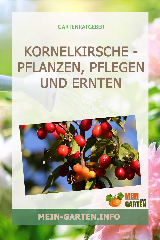 Kornelkirsche – pflanzen, pflegen und ernten