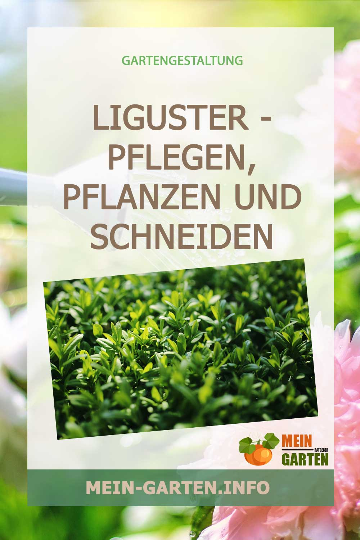Liguster – pflegen, pflanzen und schneiden