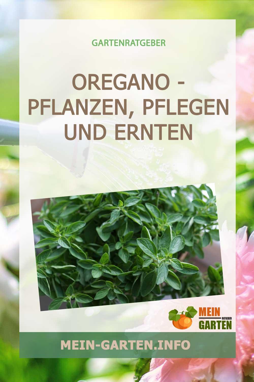 Oregano – pflanzen, pflegen und ernten