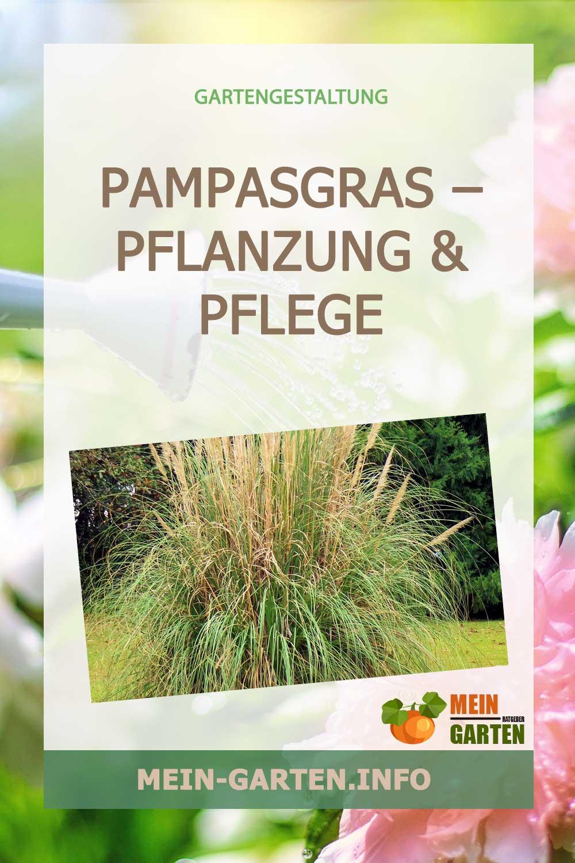 Pampasgras – Pflanzung & Pflege des üppigen Ziergras