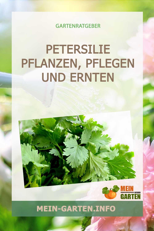 Petersilie pflanzen, pflegen und ernten