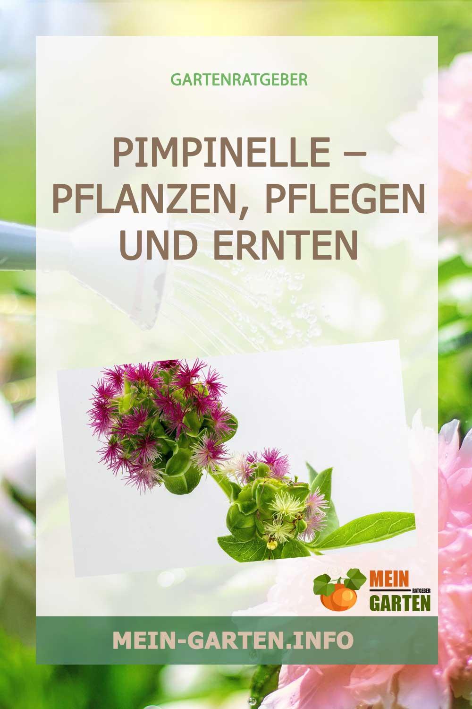 Pimpinelle – pflanzen, pflegen und ernten