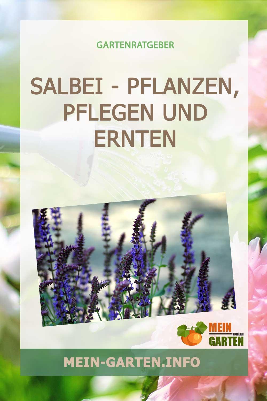 Salbei – pflanzen, pflegen und ernten