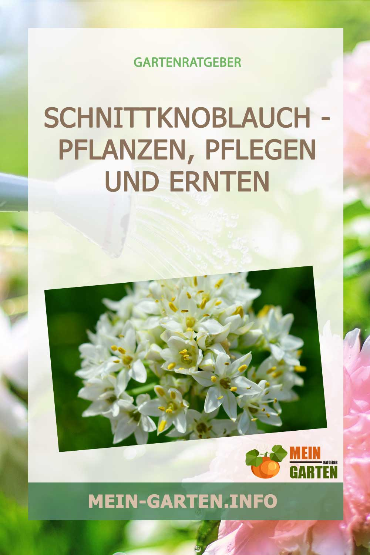 Schnittknoblauch – pflanzen, pflegen und ernten