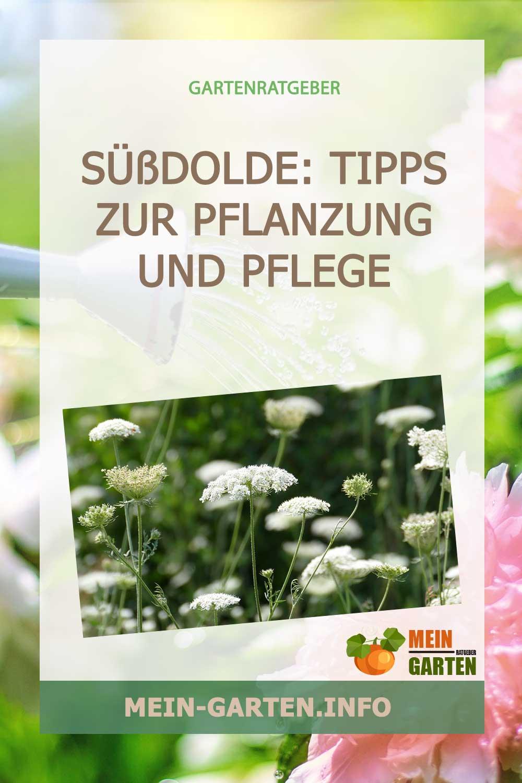 Süßdolde – Tipps zur Pflanzung und Pflege