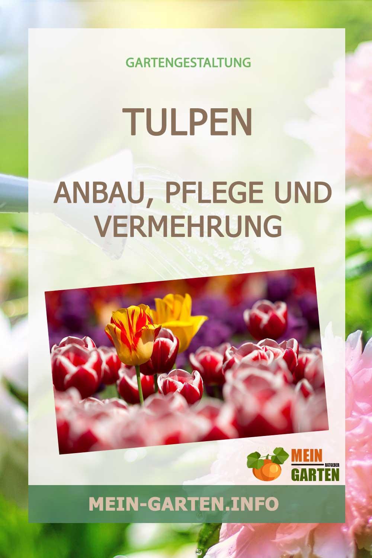Tulpen – Anbau, Pflege und Vermehrung