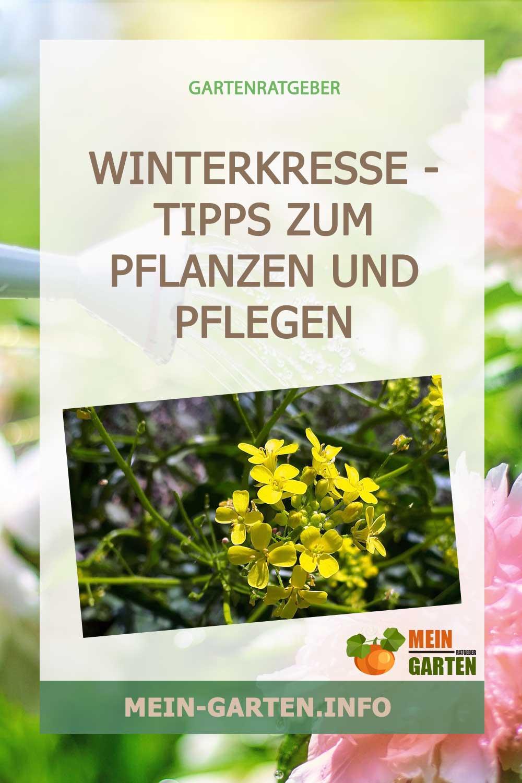 Winterkresse – Tipps zum Pflanzen und Pflegen