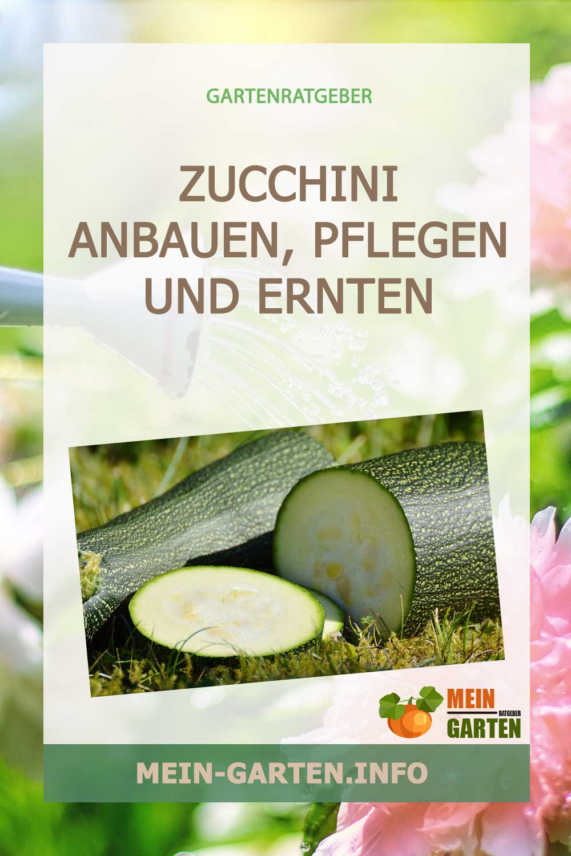 Zucchini anbauen, pflegen und ernten