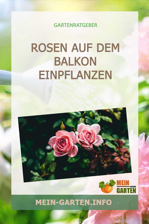 Rosen auf dem Balkon einpflanzen