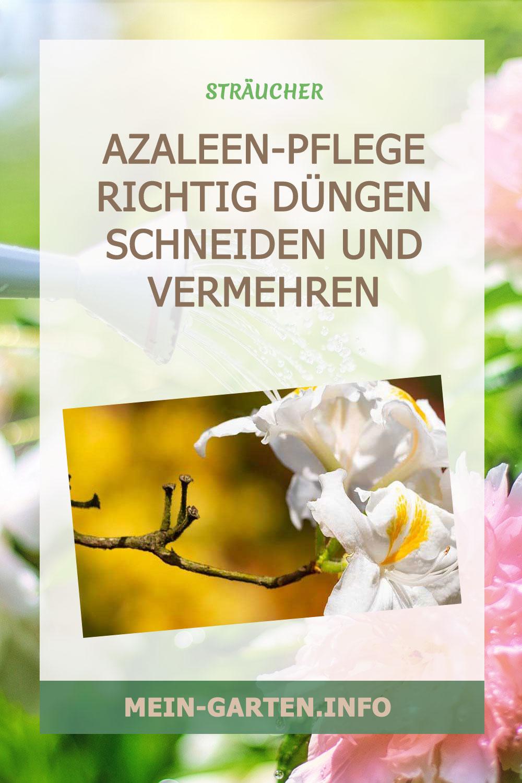 Azaleen-Pflege: Richtig düngen, schneiden und vermehren