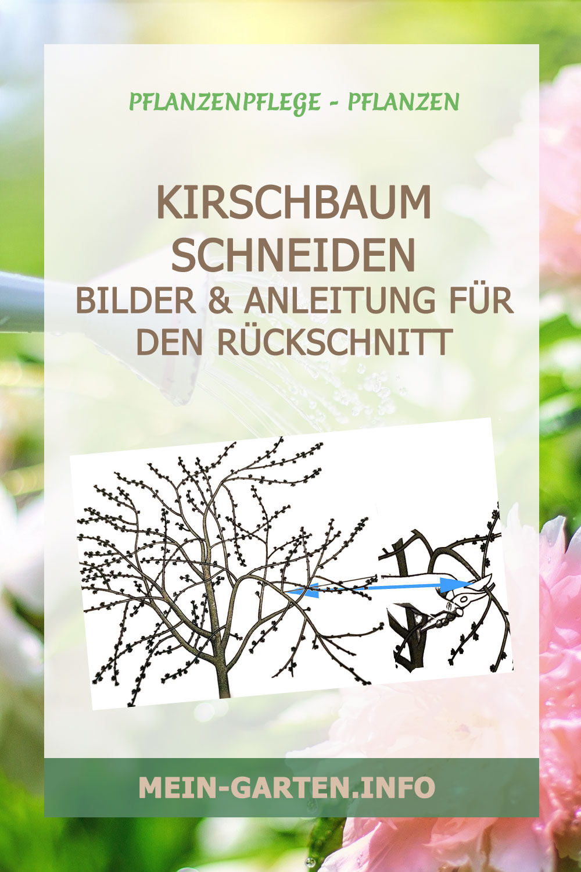 Kirschbaum schneiden – Anleitung für den Rückschnitt
