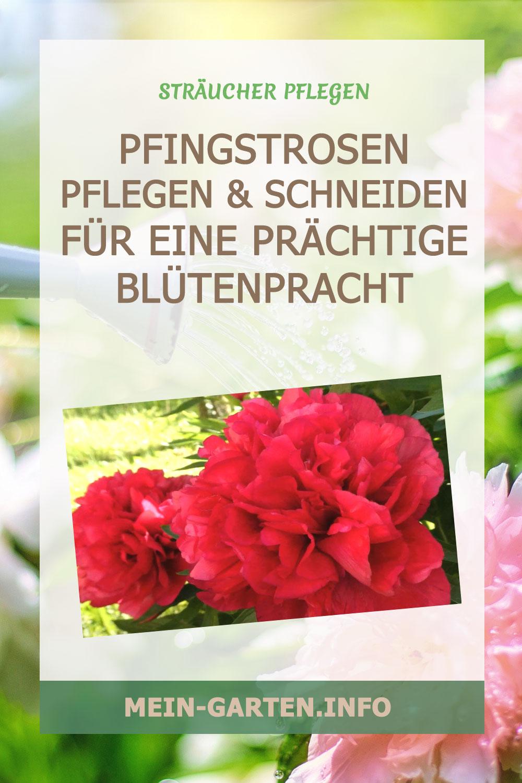Pfingstrosen pflegen und schneiden für eine prächtige Blütenpracht